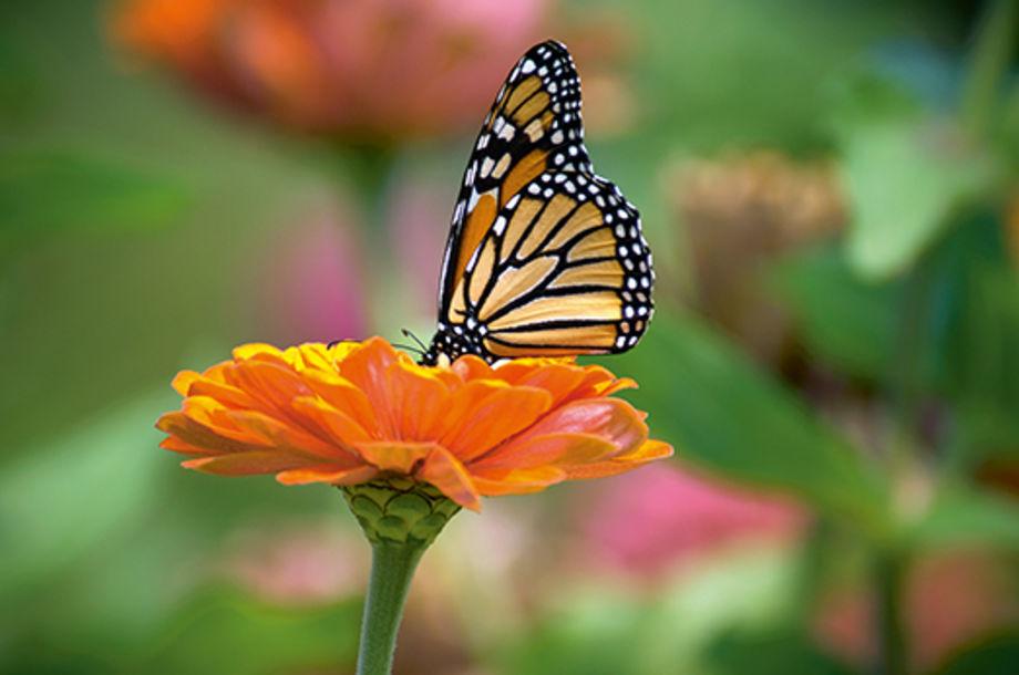 Ангельская бабочка и гипноз гусеницы